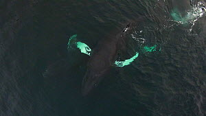 Aerial shot of Humpback whales (Megaptera novaeangliae) socialising, splashing with pectoral fins, Troms, Norway, January. - Espen Bergersen
