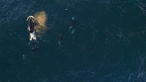 Aerial shot of a pod of Killer whales (Orcinus orca) swimming, one with belly up, Troms, Norway, October.  -  Espen Bergersen