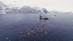 Aerial shot of a fishing boat with net full of Atlantic herring (Clupea harengus), Skjervoy, Troms, Norway, November. - Espen Bergersen
