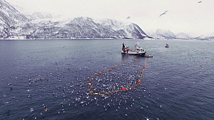 Aerial shot of a fishing boat with net full of Atlantic herring (Clupea harengus), with Killer whales (Orcinus orca) surfacing nearby, Skjervoy, Troms, Norway, November. - Espen Bergersen