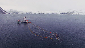 Aerial shot of a fishing boat with net full of Atlantic herring (Clupea harengus), with Killer whales (Orcinus orca) swimming around the outside, Skjervoy, Troms, Norway, November. - Espen Bergersen