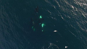 Aerial shot of Killer whales (Orcinus orca) near the surface, showing mating behaviour including a male Killer whale displaying penis, Troms, Norway, August.  -  Espen Bergersen
