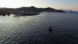 Aerial shot of a Killer whale (Orcinus orca) spyhopping several times close to land, with people watching and taking pictures, Sommaroy, Troms. Norway, January. - Espen Bergersen