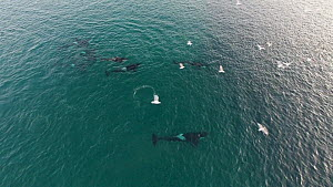 Aerial shot of a pod of Killer whales (Orcinus orca) swimming near a shoal of Atlantic herring (Clupea harenguis), Sommaroy, Troms. Norway, - Espen Bergersen
