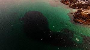 Aerial shot of a pod of Killer whales (Orcinus orca) and three Humpback whales (Megaptera novaeangliae) feeding on Atlantic herring (Clupea harenguis) close to shore, Sommaroy, Troms Norway, January. - Espen Bergersen