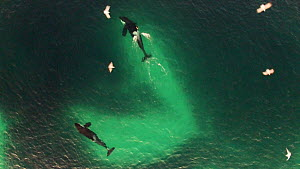 Aerial shot of two Killer whales (Orcinus orca) swimming inside a shoal of Atlantic herring (Clupea harenguis), hunting, with one Killer whale tail slapping to stun the Herring, Sommaroy, Troms, Norwa... - Espen Bergersen