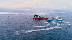 Aerial shot of fishing boats catching Atlantic herring (Clupea harenguis), with Killer whales (Orcinus orca) swimming around the boats, Troms, Norway, January.  -  Espen Bergersen