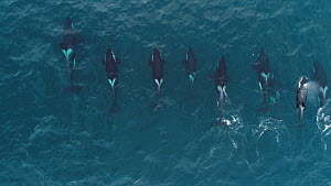 Aerial shot of a large pod of Killer whales (Orcinus orca) swimming just below the surface, Troms, Norway, January.  -  Espen Bergersen