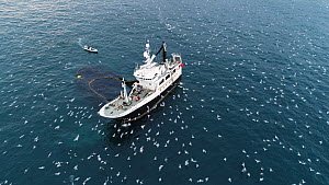 Aerial shot of a fishing boat catching Atlantic herring (Clupea harenguis), with Killer whales (Orcinus orca) and Humpback whales (Megaptera novaeangliae) swimming around the boats and large numbers o...  -  Espen Bergersen