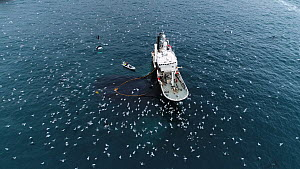 Aerial shot of a fishing boats catching Atlantic herring (Clupea harenguis), with Killer whales (Orcinus orca) and Humpback whales (Megaptera novaeangliae) swimming around the boats and large numbers... - Espen Bergersen
