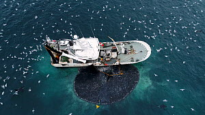 Aerial shot of a fishing boat catching Atlantic herring (Clupea harenguis), with Killer whales (Orcinus orca) and Humpback whales (Megaptera novaeangliae) swimming around the boat and large numbers of...  -  Espen Bergersen