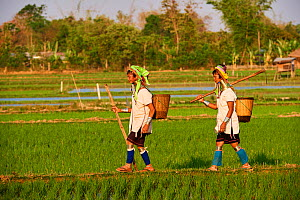 2 Kayan Lahwi women with brass neck coils and traditional clothing in a rice field. The Long Neck Kayan (also called Padaung in Burmese) are a sub-group of the Karen ethnic people from Burma. They are...  -  Eric Baccega
