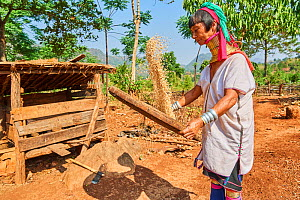 Kayan Lahwi woman with brass neck coils and traditional clothing sifting rice to get rid of the loose husks in a flat basket. The Long Neck Kayan (also called Padaung in Burmese) are a sub-group of th...  -  Eric Baccega