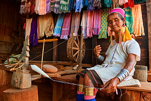 Kayan Lahwi woman with brass neck coils and traditional clothing spinning cotton in her shop. She has displayed behind her the hand woven fabric she sells to tourists. The Long Neck Kayan (also called...  -  Eric Baccega