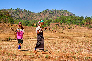 2 Kayan Lahwi women with brass neck coils and traditional clothing in a dry rice field. The Long Neck Kayan (also called Padaung in Burmese) are a sub-group of the Karen ethnic people from Burma. They...  -  Eric Baccega