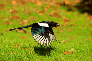 Magpie (Pica pica) flying. UK. October.  -  Andy Rouse