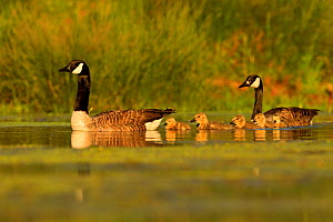 Canada Goose (Branta canadensis) pair with young. UK. May. - Andy Rouse