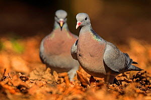 Stock Dove (Columba oenas) male chasing female during courtship. UK. March. - Andy Rouse