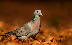 Stock Dove (Columba oenas) male foraging in leaves. UK. March. - Andy Rouse