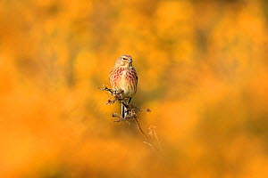 Linnet (Carduelis cannabina) surrounded by yellow gorse flowers. UK. April. - Andy Rouse