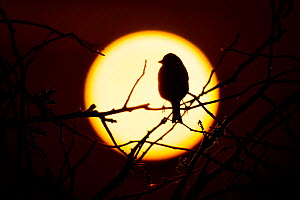 Linnet (Carduelis cannabina) at dawn. UK. - Andy Rouse