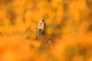 Linnet (Carduelis cannabina) male perched on branch, surrounded yellow gorse flowers. UK. April. - Andy Rouse