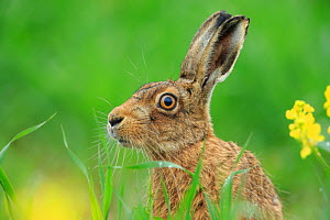 European Hare (Lepus europaeus) in grassland. UK. May. - Andy Rouse