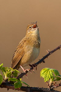 Grasshopper Warbler (Locustella naevia) male perched on bramble branch, singing in spring. UK. March  -  Andy Rouse