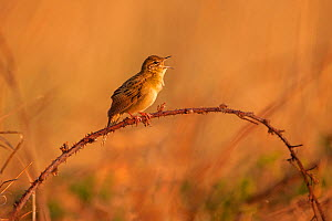 Grasshopper warbler (Locustella naevia) male singing in spring, UK, March.  -  Andy Rouse