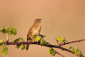 Grasshopper Warbler (Locustella naevia) male perched on branch singing. UK. March.  -  Andy Rouse