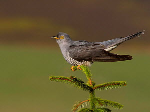 Cuckoo (Cuculus canorus) in habitat, Wales, UK, May. - Andy Rouse