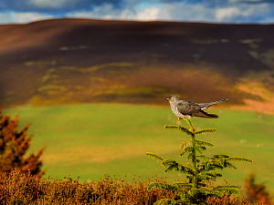 Cuckoo (Cuculus canorus) perched on conifer in habitat. Wales, UK. May  -  Andy Rouse