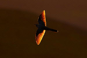 Cuckoo (Cuculus canorus) flying at sunset with sunlight behind wings. Wales, UK. May. - Andy Rouse