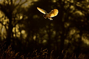 Barn owl (Tyto alba) hunting with sunset light on wings, UK. March.  -  Andy Rouse