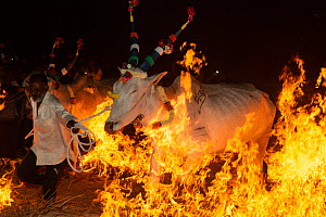 Bulls led by owner over a fire during a ritual at the Hindu festival of Makar Sankranti , Karnataka, India. January 2019.  -  Yashpal Rathore