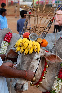 Bull with bananas and other decorations on head dress, ready to walk over burning hay to celebrate the Hindu festival Makar Sankranti. Karnataka, India, January 2019.  -  Yashpal Rathore