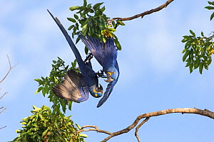 Hyacinth Macaw (Anadorhynchus hyacinthinus) two playing whilst hanging upside down, Pantanal, Brazil  -  Suzi Eszterhas