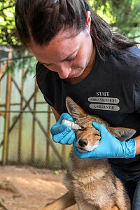 Wildlife Rehabilitator, Jessie Paolello, administering eye medication to orphaned pup Coyote (Canis latrans) Sarvey Wildlife Care Center, Arlington, Washington, USA, June. - Suzi Eszterhas