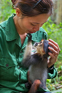 Bui Thi Hanh, Animal Caretaker, bottle-feeding infant Red-shanked douc langur (Pygathrix nemaeus) that was rescued from illegal wildlife trade, Endangered Primate Rescue Center, Cuc Phuong National Pa...  -  Suzi Eszterhas