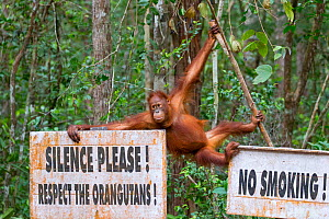 Bornean Orangutan (Pongo pygmaeus) next to signs which say 'Silence please. Respect the orangutans' and 'No Smoking' Tanjung Puting National Park, Borneo, Indonesia.  -  Suzi Eszterhas