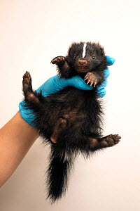 Striped Skunk (Mephitis mephitis) one-month-old orphaned baby (orphaned when mother was hit by car)held in hand, Sarvey Wildlife Care Center, Arlington, Washington, USA. June. - Suzi Eszterhas
