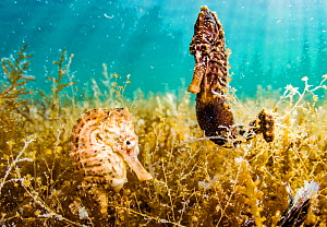 Lined seahorses (Hippocampus erectus), one male and one female, clinging to algae in a land locked alakaline lagoon on Eleuthera Island, Bahamas. - Shane Gross