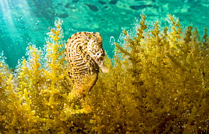 Lined seahorse (Hippocampus erectus) male clinging to algae in a land locked alakaline lagoon on Eleuthera Island, Bahamas. - Shane Gross