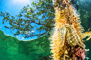 Lined seahorse (Hippocampus erectus) camouflaged holding onto a tree branch near the surface in a land locked alakaline lagoon on Eleuthera, Bahamas. - Shane Gross