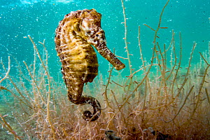 Lined seahorse (Hippocampus erectus) clinging to algae in a land locked alakaline lagoon on Eleuthera Island, Bahamas. - Shane Gross