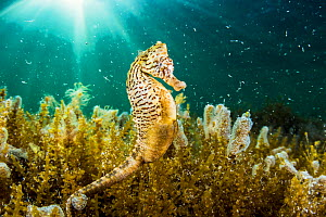 Lined seahorse (Hippocampus erectus) male clining to algae in a land locked alakaline lagoon on Eleuthera Island, Bahamas. - Shane Gross