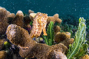 Lined seahorse (Hippocampus erectus) clinging to coral in a land locked alakaline lagoon on Eleuthera Island, Bahamas. - Shane Gross