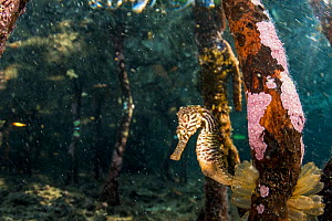 Lined seahorse (Hippocampus erectus) holding onto a red mangrove root in a land locked alakaline lagoon on Eleuthera, Bahamas. - Shane Gross