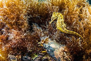 Lined seahorse (Hippocampus erectus) swimming among algae in a land locked alakaline lagoon on Eleuthera, Bahamas. - Shane Gross