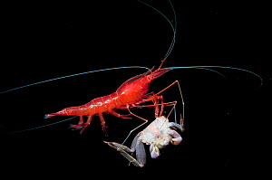 Yet-to-be-described red cave shrimp scavenges on a dead, unidentified crab in a blue hole in The Bahamas. To avoid competition, the shrimp rises off the bottom to feed.  -  Shane Gross